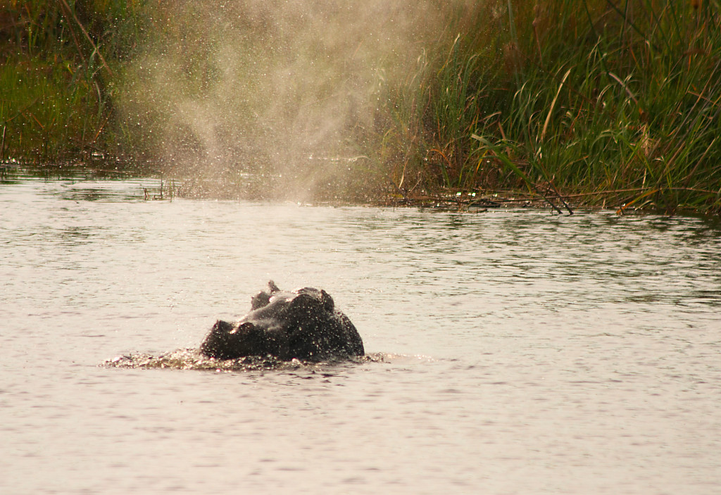Our Jenman African Safaris' guide goes swimming in the Zambezi with the hippos… WHOOPS!