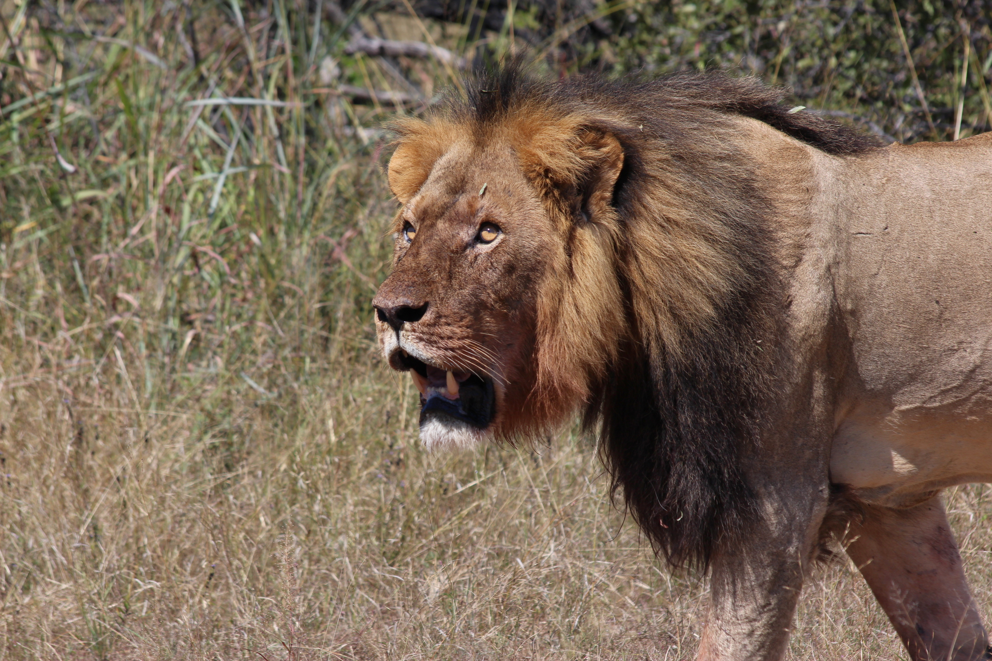 Saw a Male Lion - a first in the Tuli Block Reserve! 1