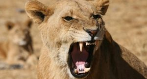 Hwange Lion Research Project 4