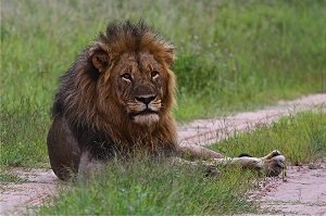 Hwange Lion Research Project 5