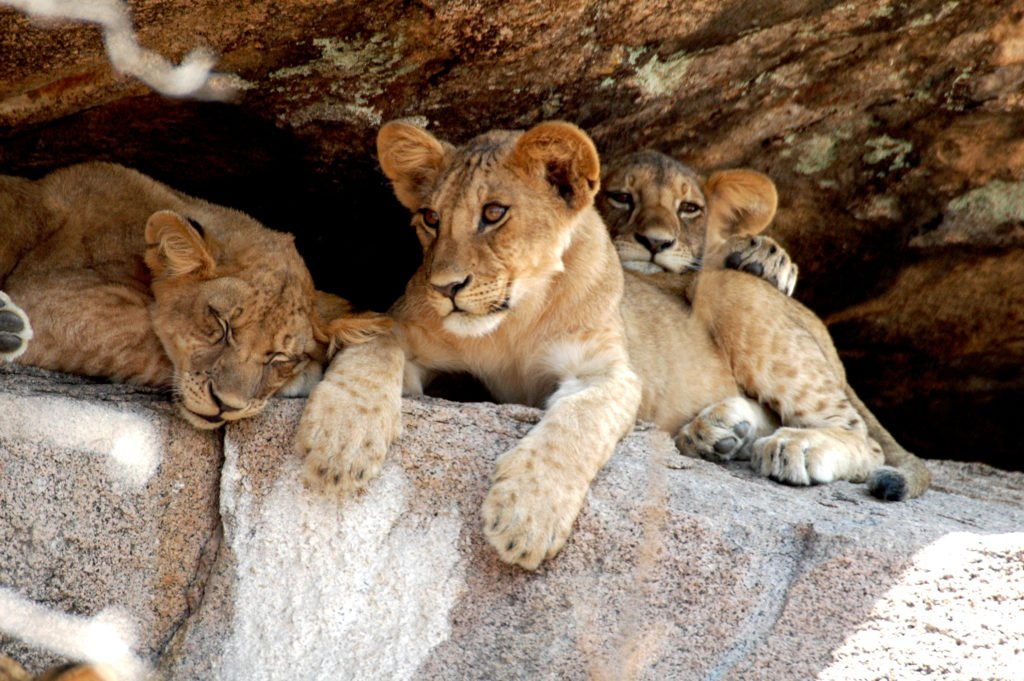 Hwange Lion Research Project 3