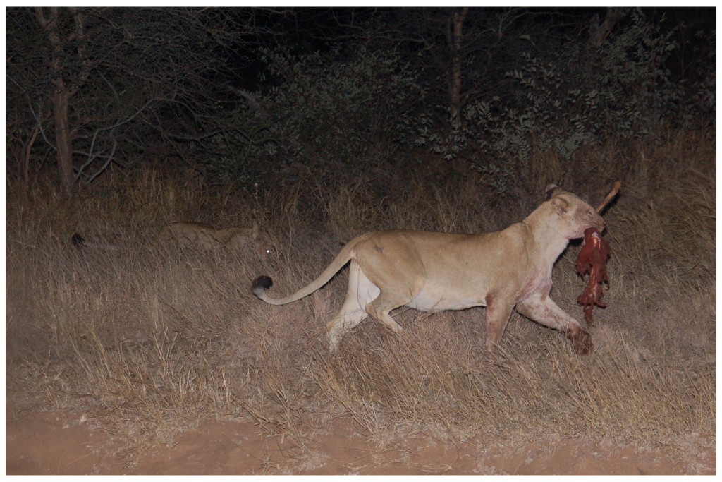 Lion kill between our tents at our Khwai Bedouin Camp!