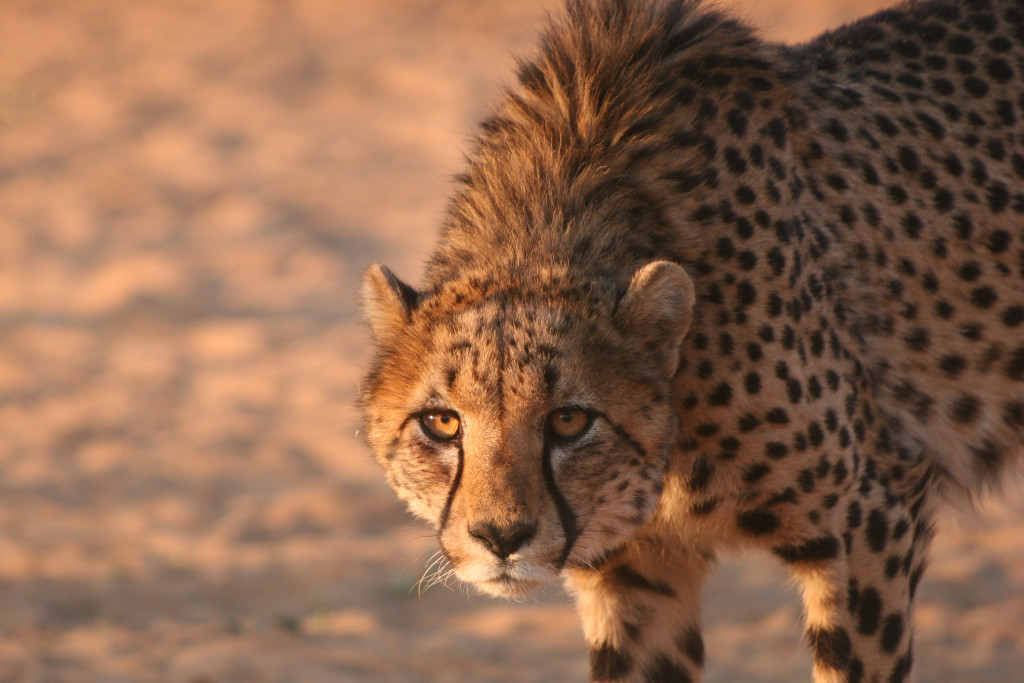 The perfect cheetah kill…