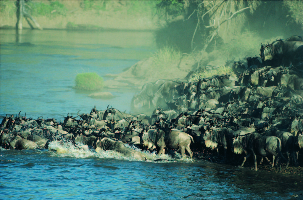 Wildebeest Migration – where are they now?