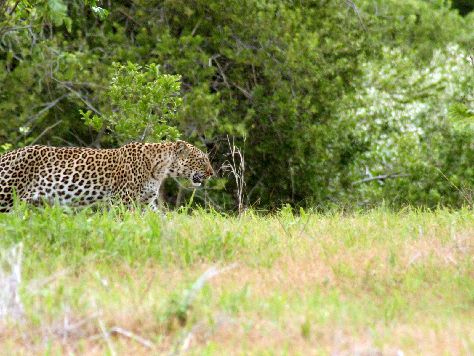 Rare leopard spotted on your doorstep in the Western Cape…