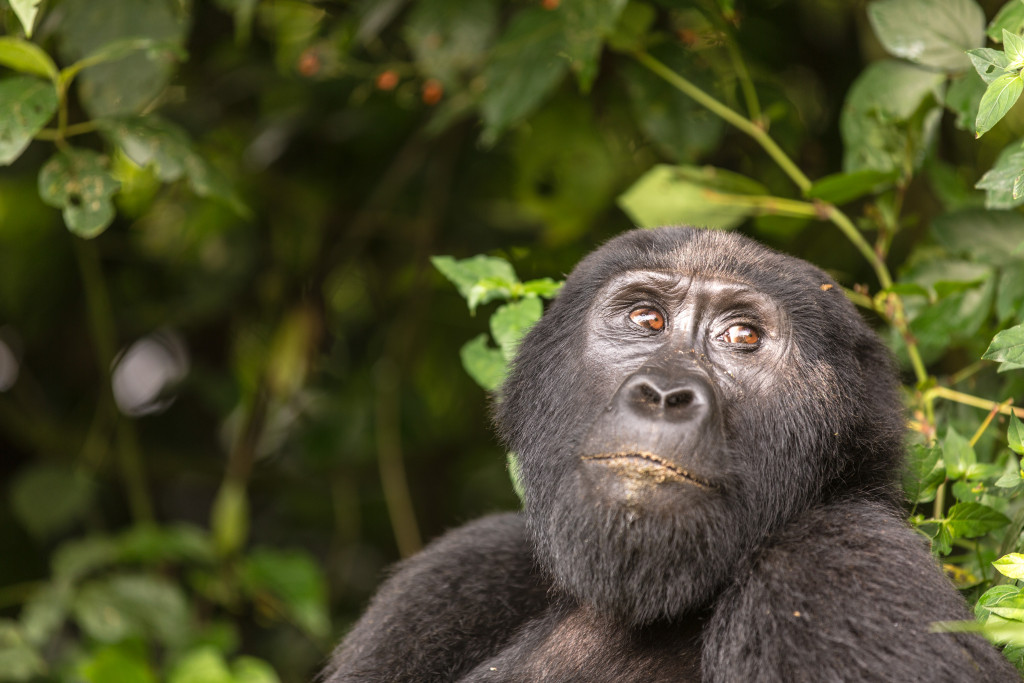 Track GORILLAS and CHIMPS in Uganda!