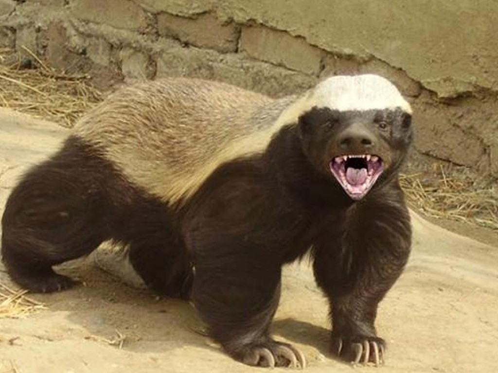 Bet you didn't know all of this about honey badgers…