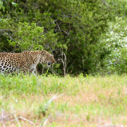 Leopard - Ruaha National Park