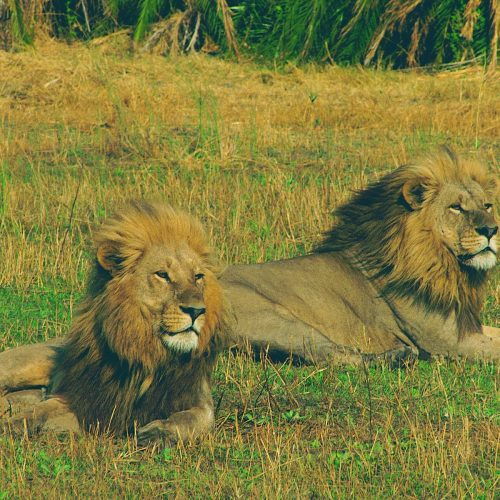 Lions - Katavi National Park