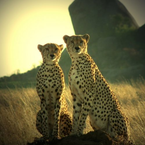 Two Cheetah's posing in Dar Es Salaam