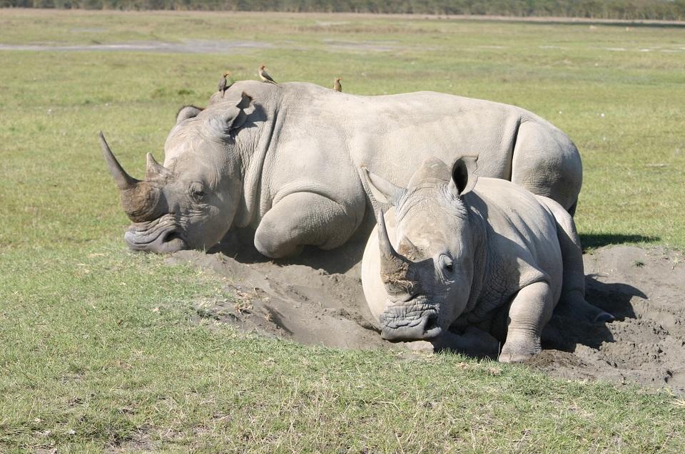 Premier Kenya - Northern White Rhino
