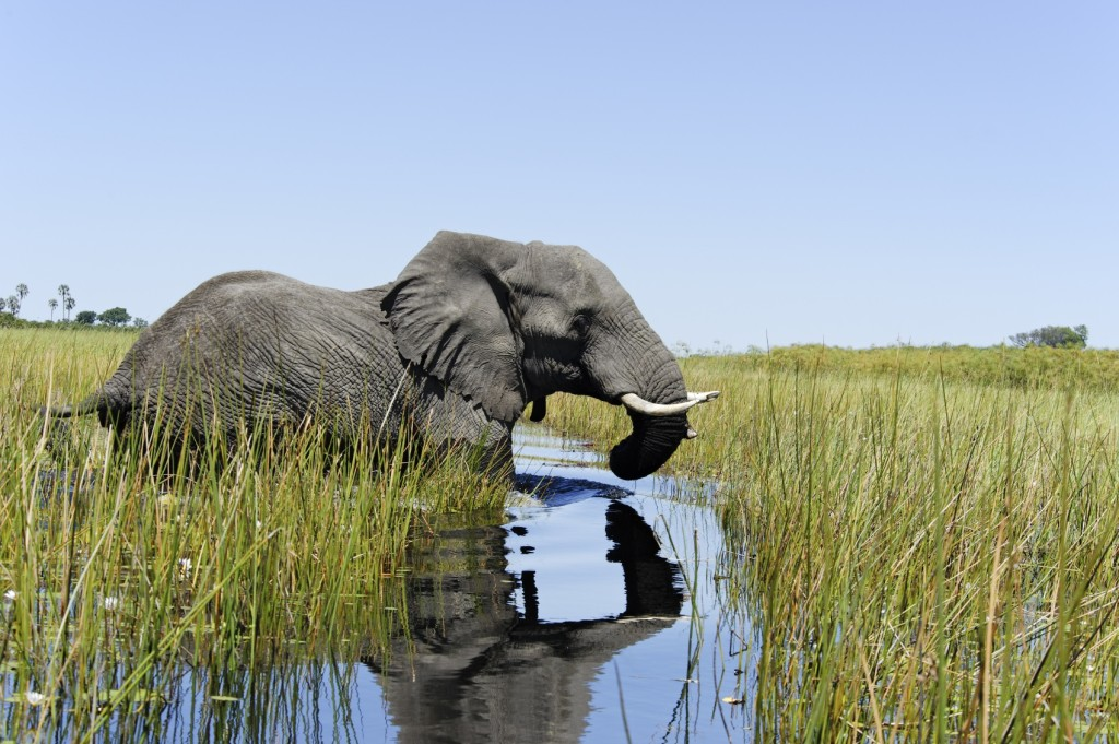 Elephant crossing the river in Botswana