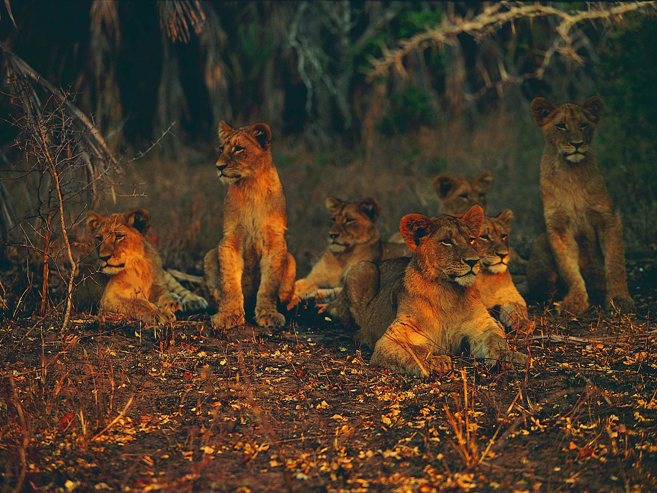 Pride of lions in Hwange National Park