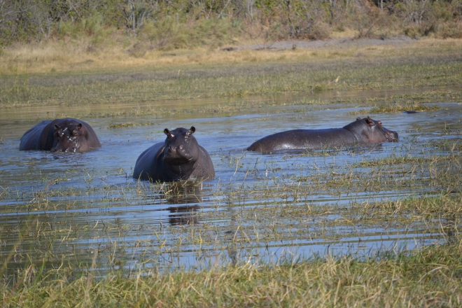 Hippos at Moremi Game Reserve