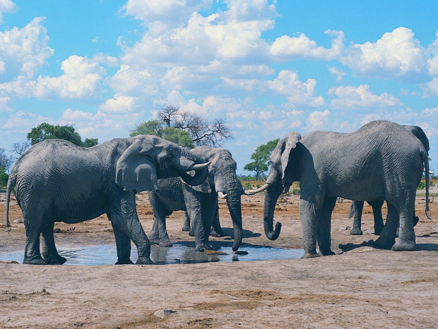 Elephants drinking in Hwange National Park