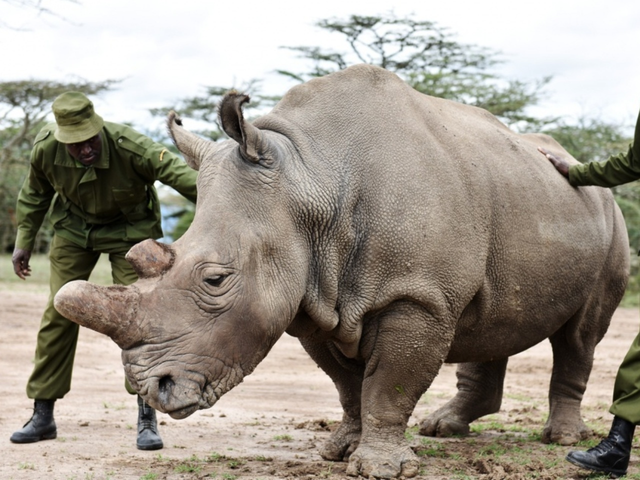 The Last Male Northern White Rhino Left Alive