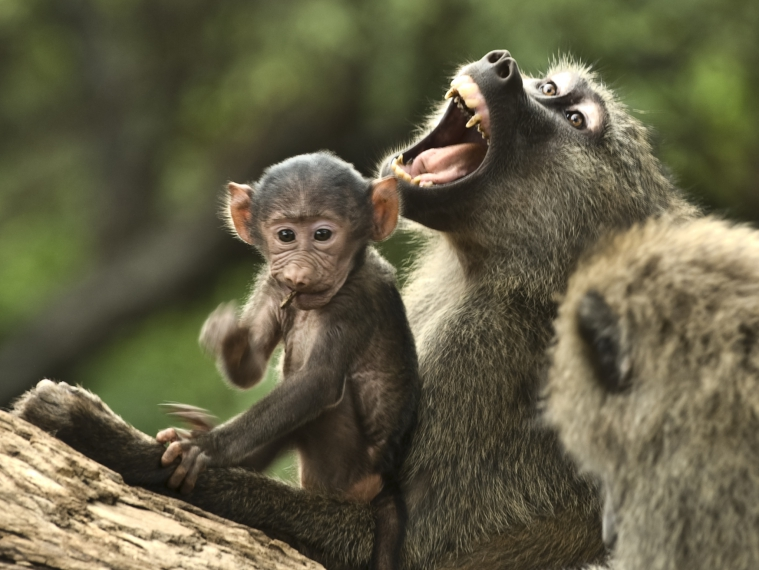 Baboons in Hwange National Park