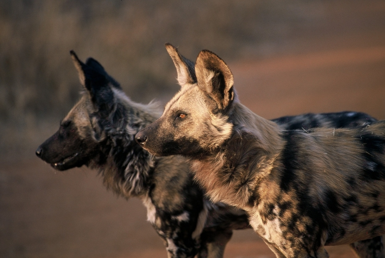 Wild Dogs at the Wild Dog Concervation