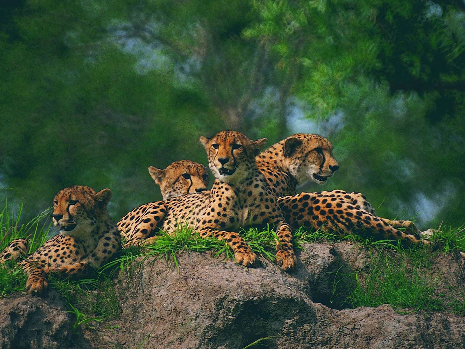 Leopherds