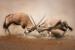 Two male Gemsbok antelopes