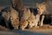 Alert cheetahs (Acinonyx jubatus) drinking water, Kalahari desert, South Africa