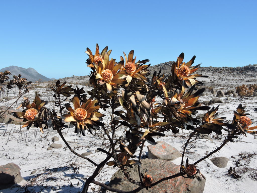 Cape Fires – the Good, the Bad and the Ugly