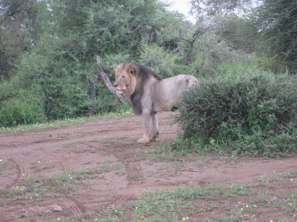A Lion from Mashatu National Park