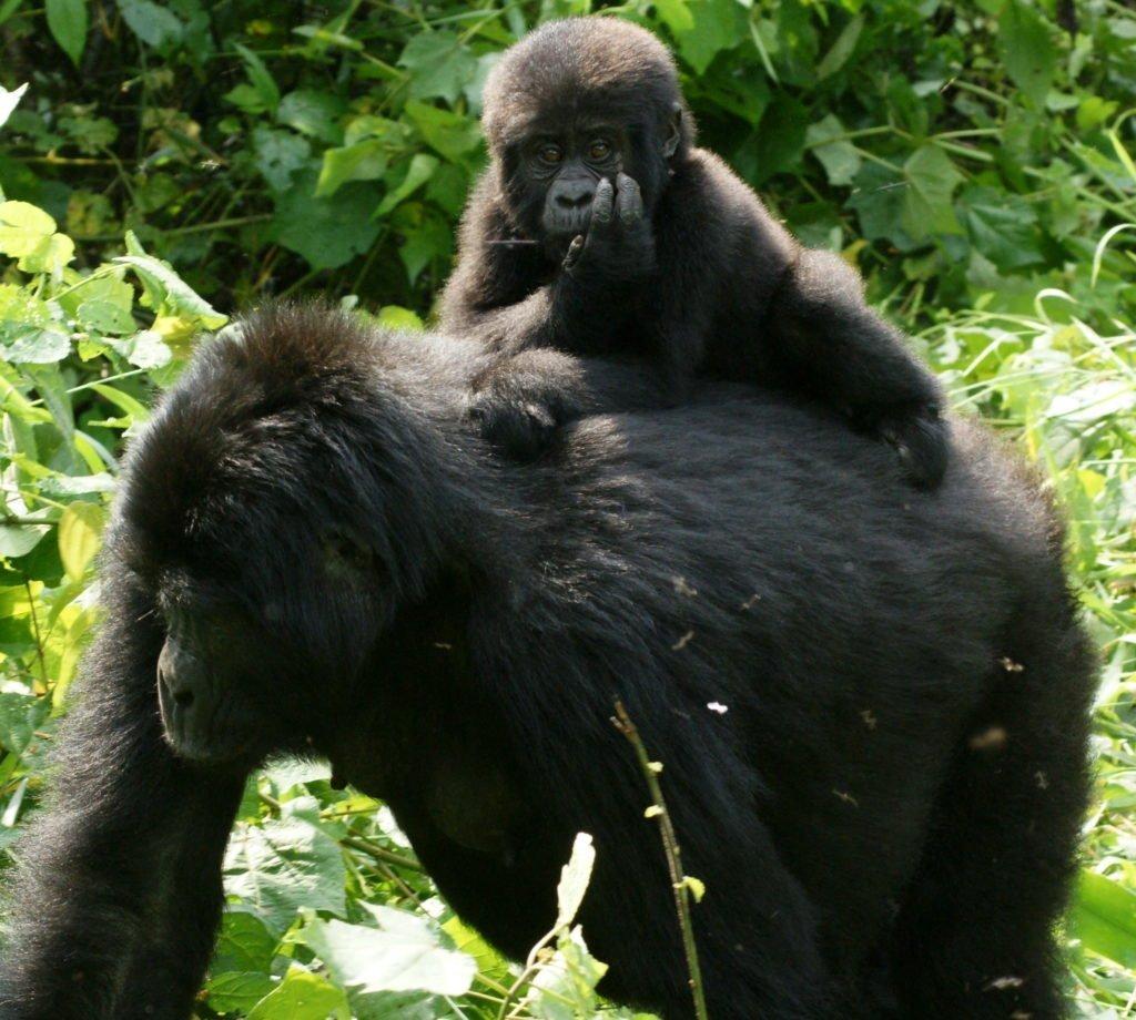 5 Tips for a Gorilla Trek 6