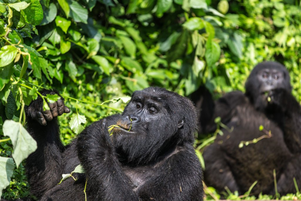 5 Tips for a Gorilla Trek 4