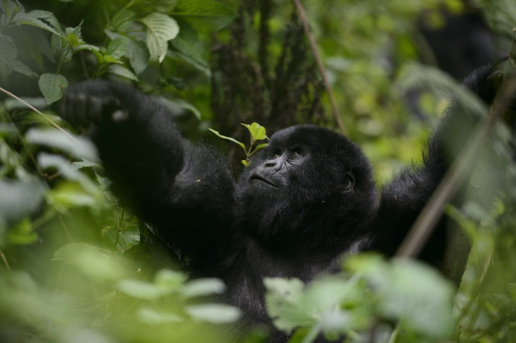 Gorilla Numbers Increase in the Wild 10