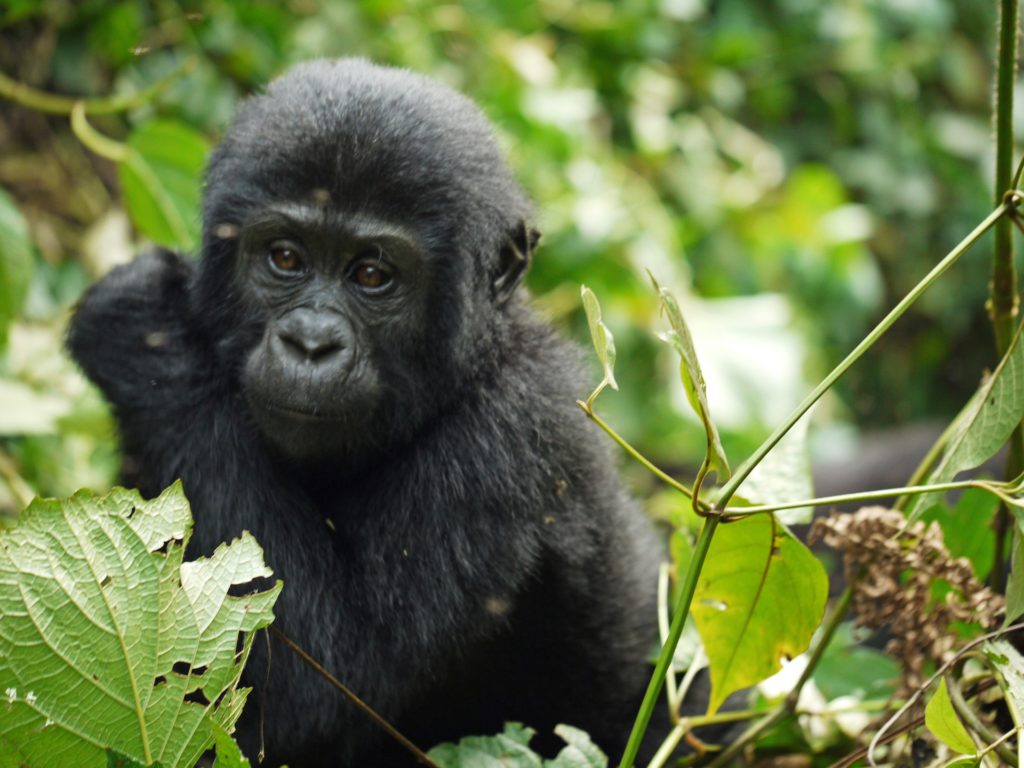 Gorilla Numbers Increase in the Wild 12