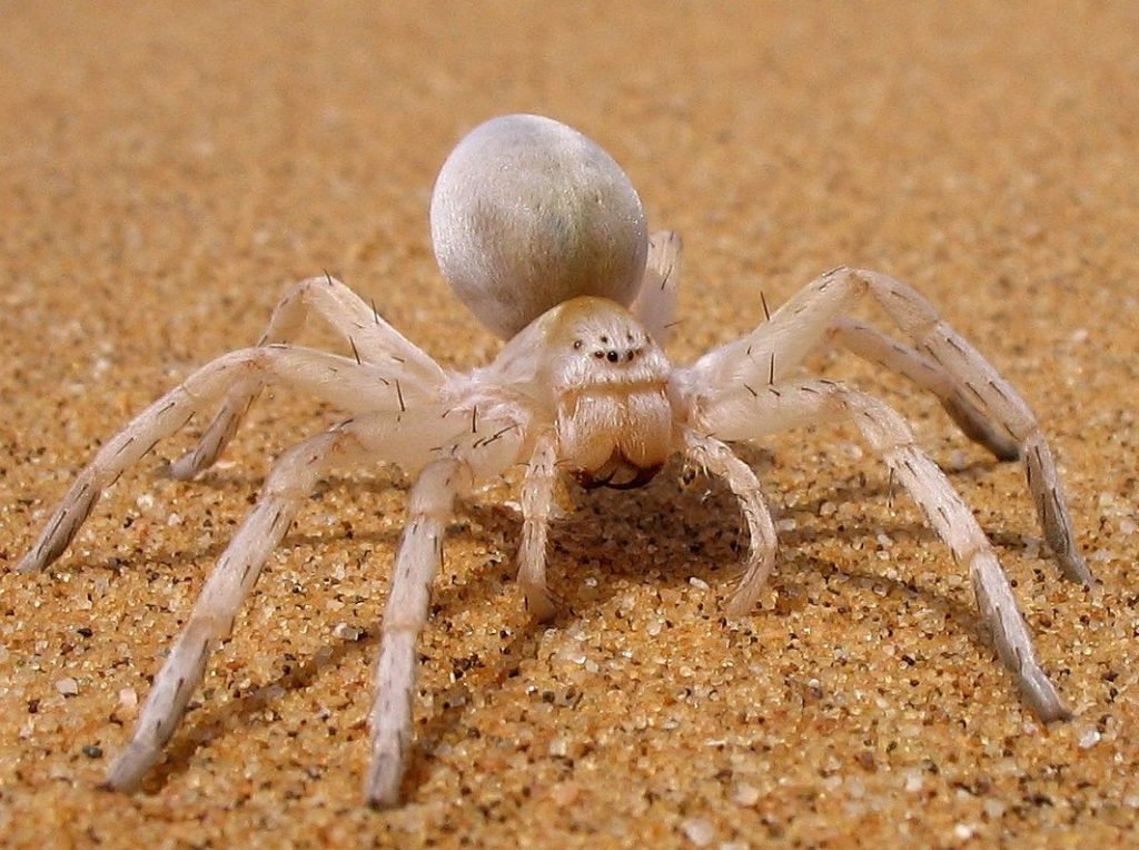 5 Amazing Little Critters of the Namib Desert and How They Survive 2