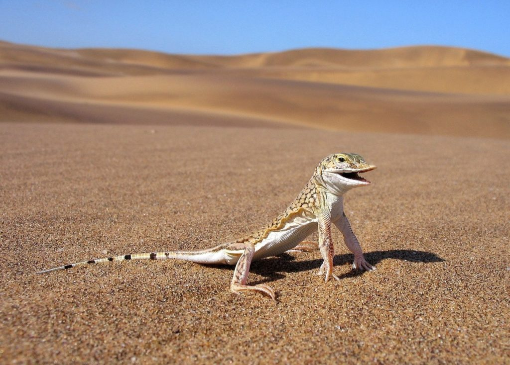 5 Amazing Little Critters of the Namib Desert and How They Survive