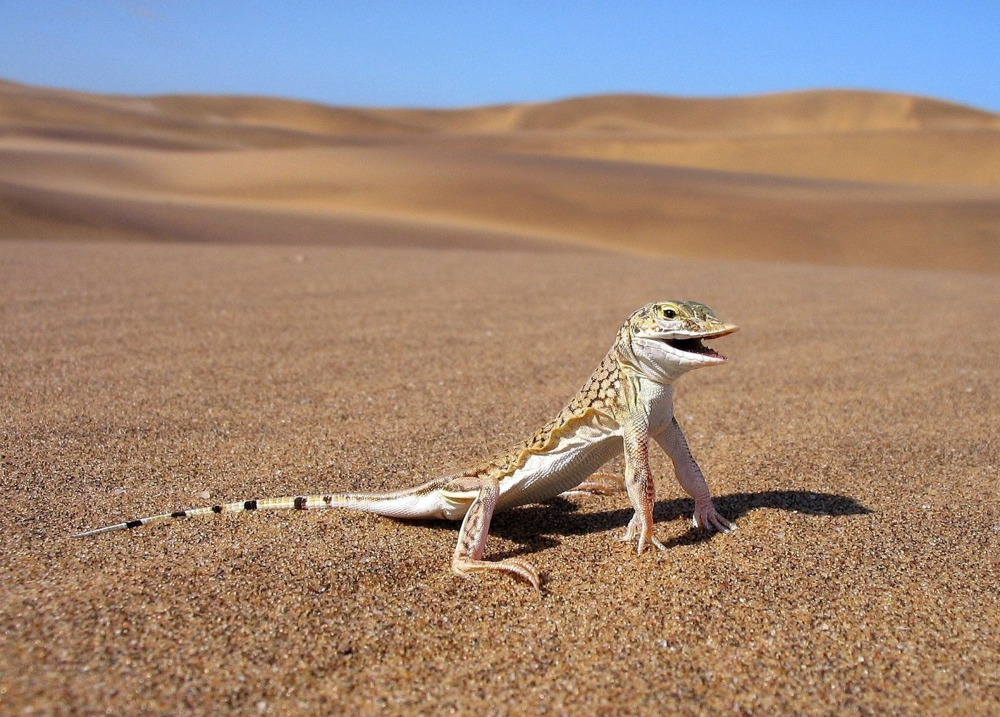 5 Amazing Little Critters of the Namib Desert and How They Survive 5