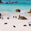 African penguins colony at Boulders beach, Cape Town, South Africa