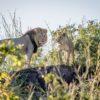 Lion Couple, Chobe National Park