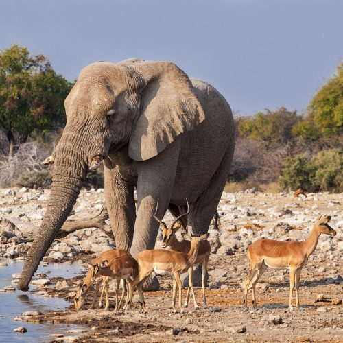 Elephant and Impala, Etosha National Park, Namibia