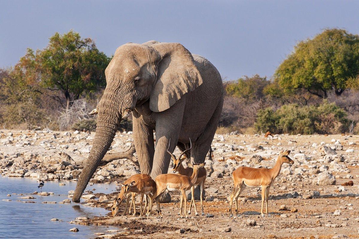 Elephant and Impala, Etosha National Park, Namibia