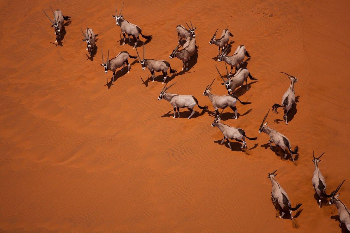 Antelope, Sand Dunes, Namibia