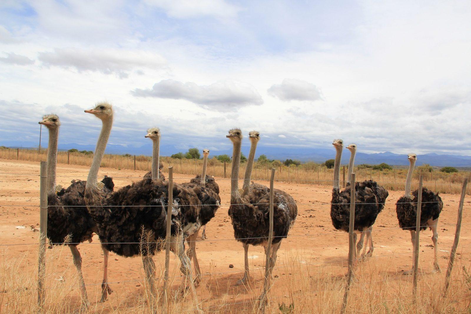 Mooiplaas Guest House - Ostrich Farm