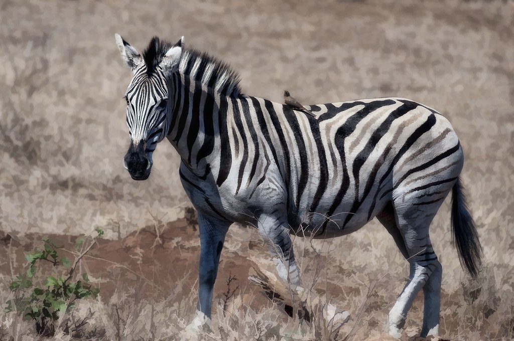 Zebra and Oxpecker | Symbiotic Relationships in Nature