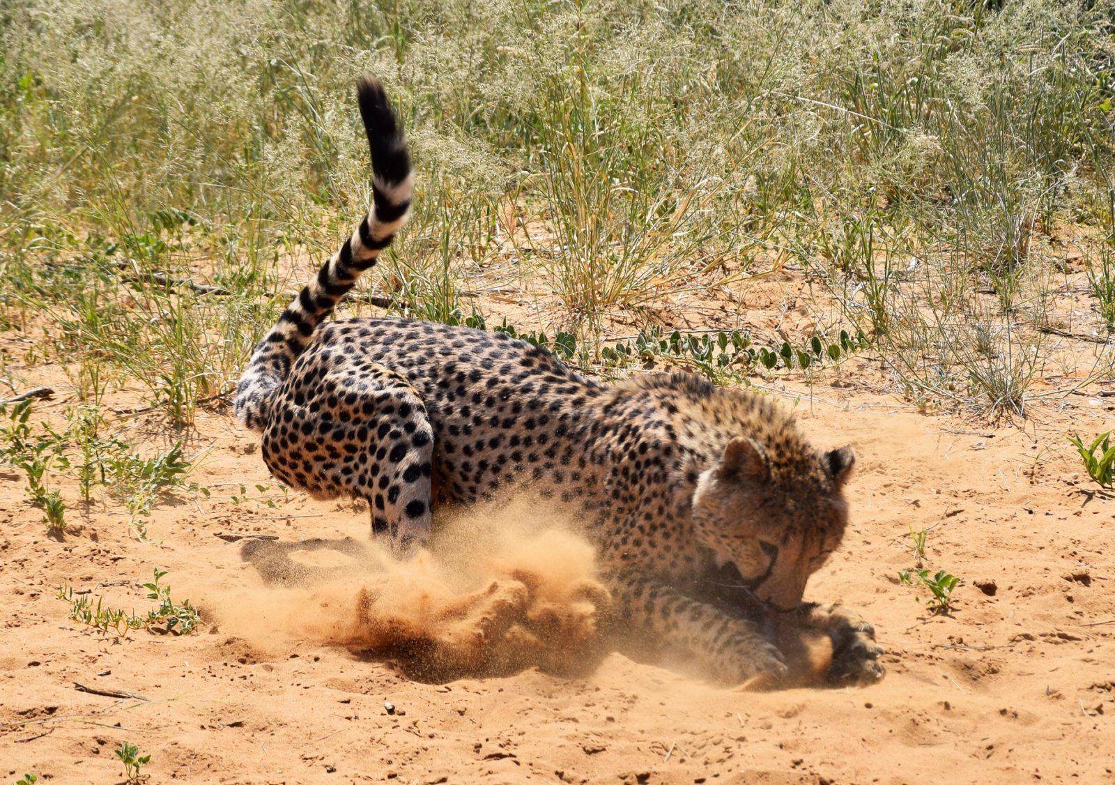 Cheetah, africa | When African Animals Attack