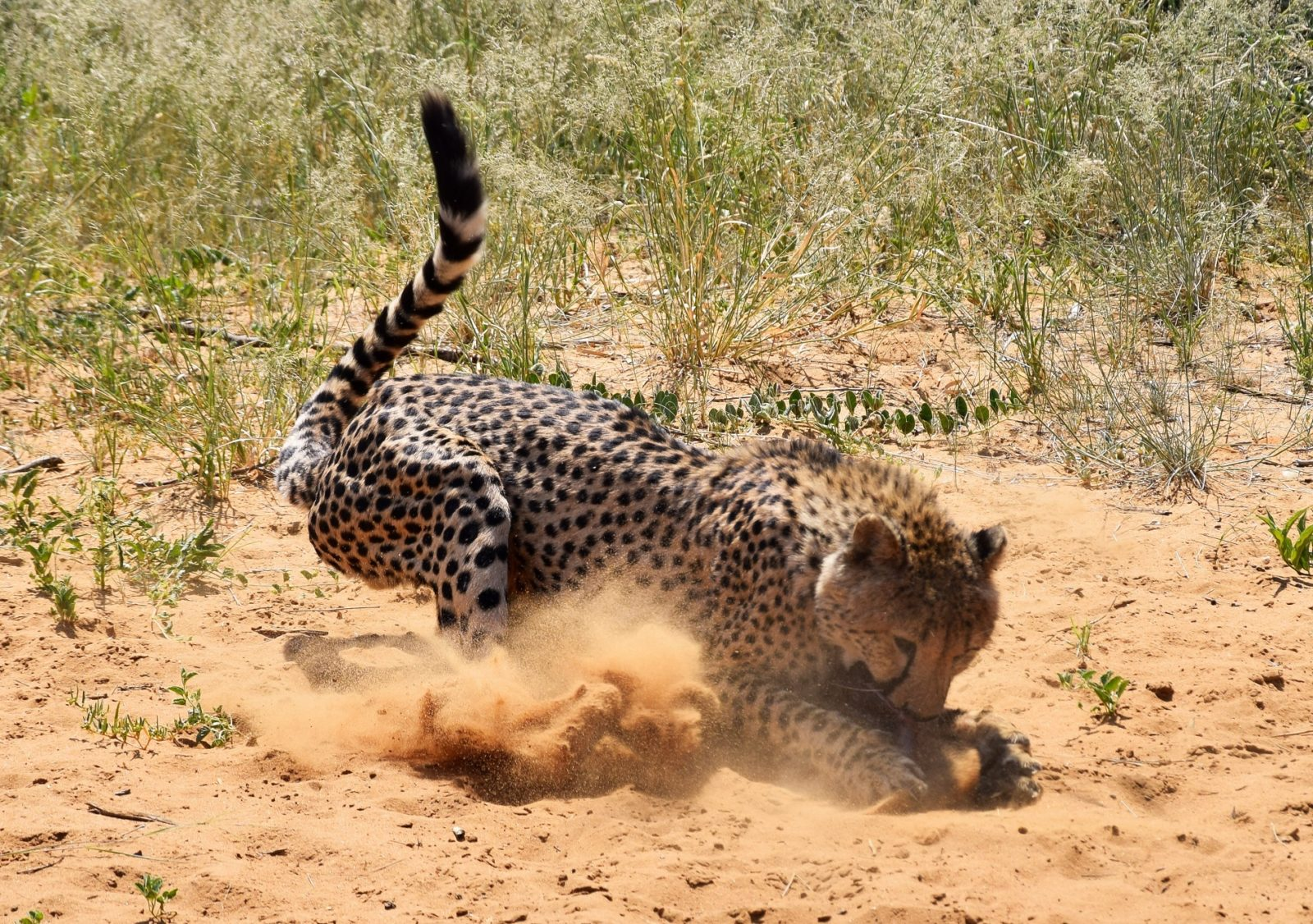 Cheetah, africa | When African Animals Attack
