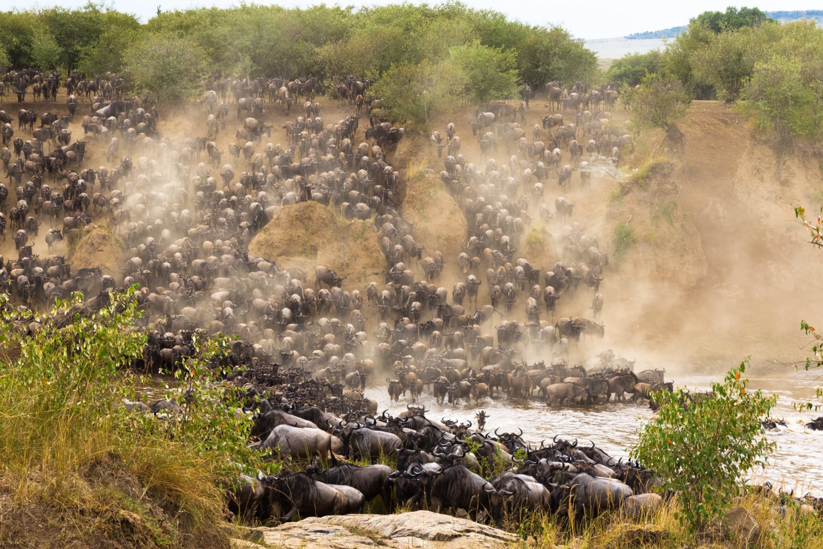 The Wildebeest migration, Kenya | The Lion King