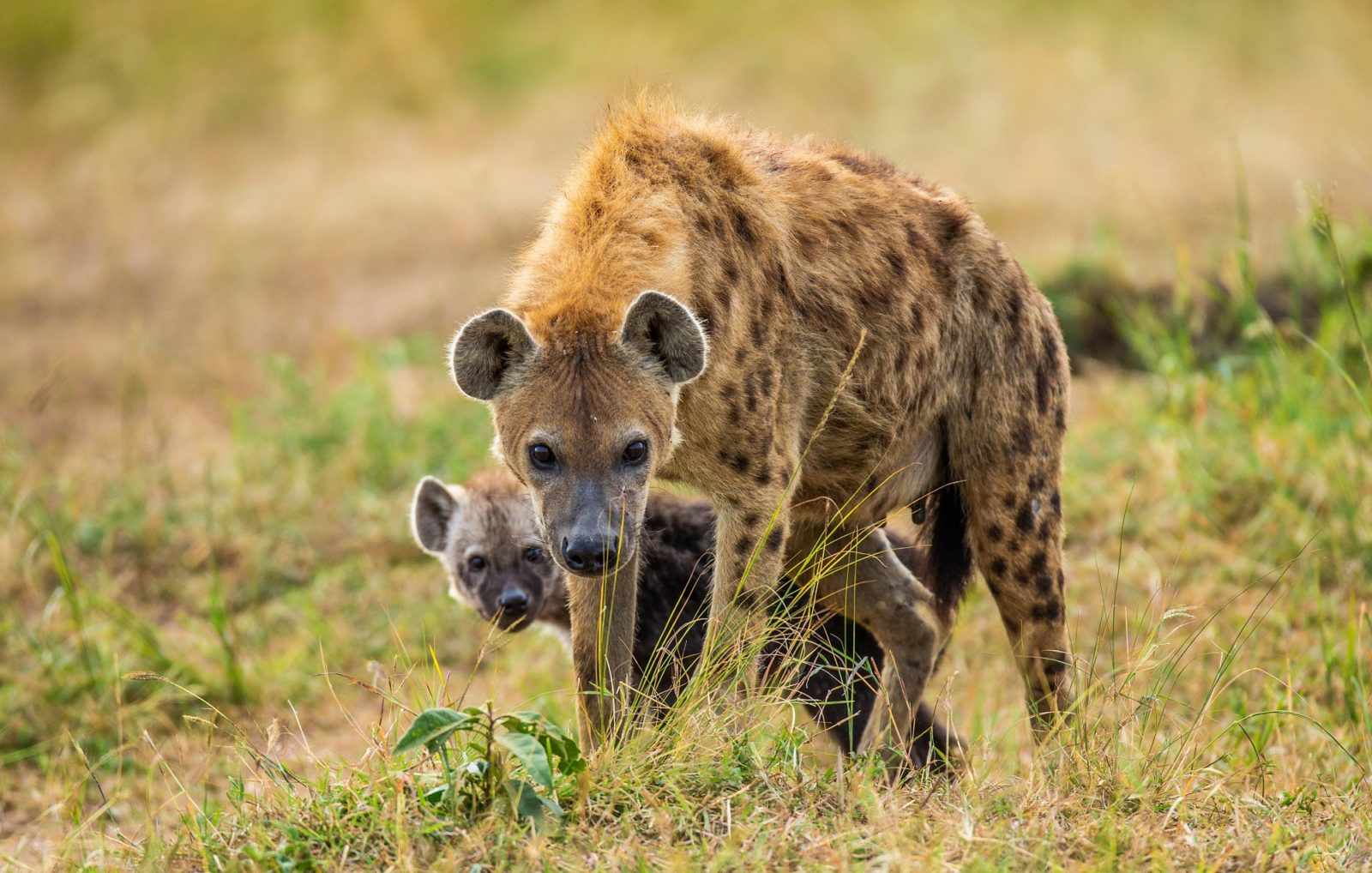 """Slobbery, Mangy Stupid Poachers!"" Do Hyenas Really Deserve Their Bad Rap?"