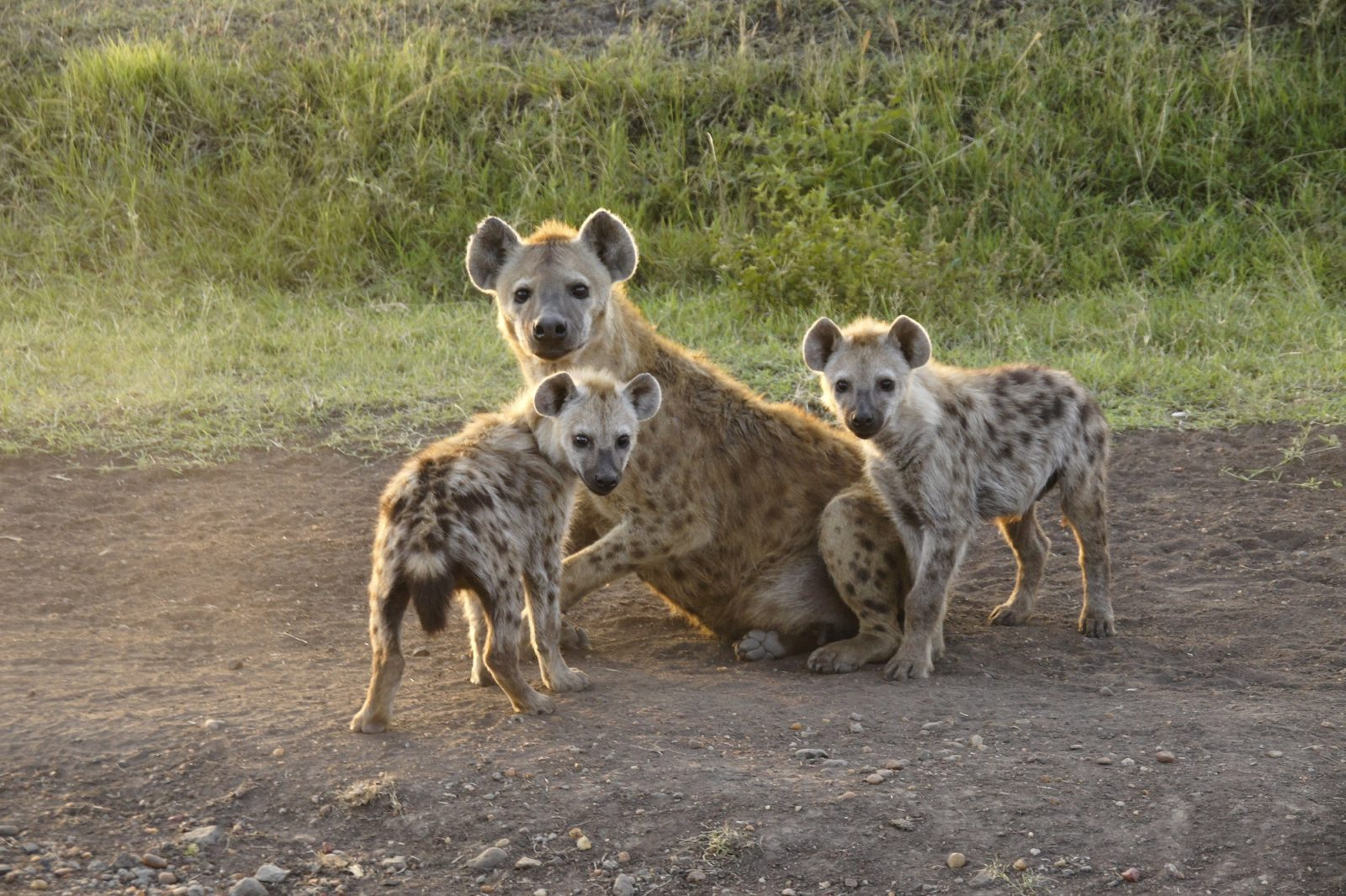 """Slobbery, Mangy Stupid Poachers!"" Do Hyenas Really Deserve Their Bad Rap? 1"