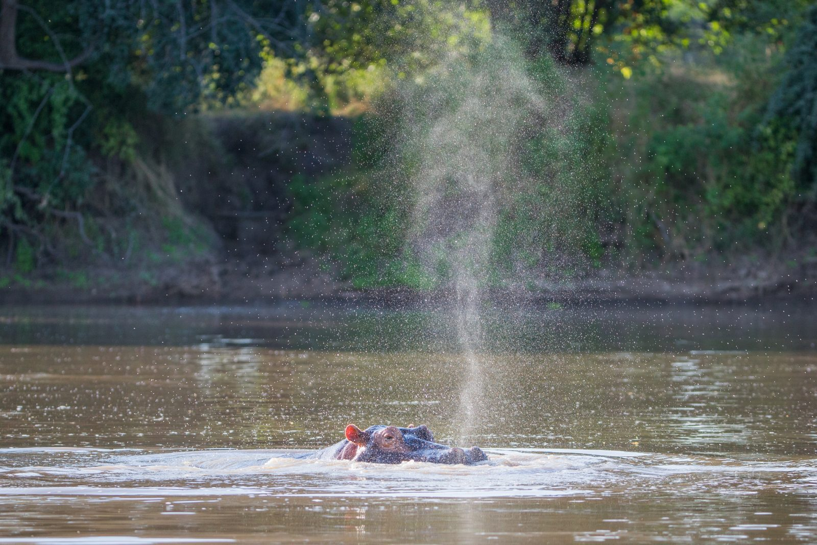 Hippo | Mana Pools, Zimbabwe