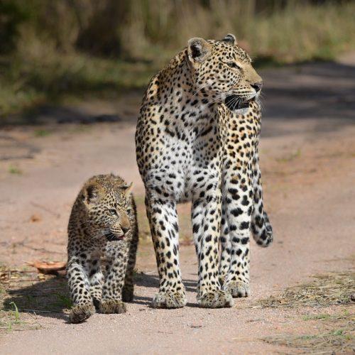 Kruger Leopards   Highlights of Southern Africa