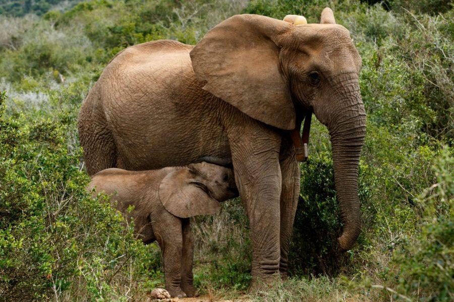 Addo Elephant Park, Garden Route, South Africa