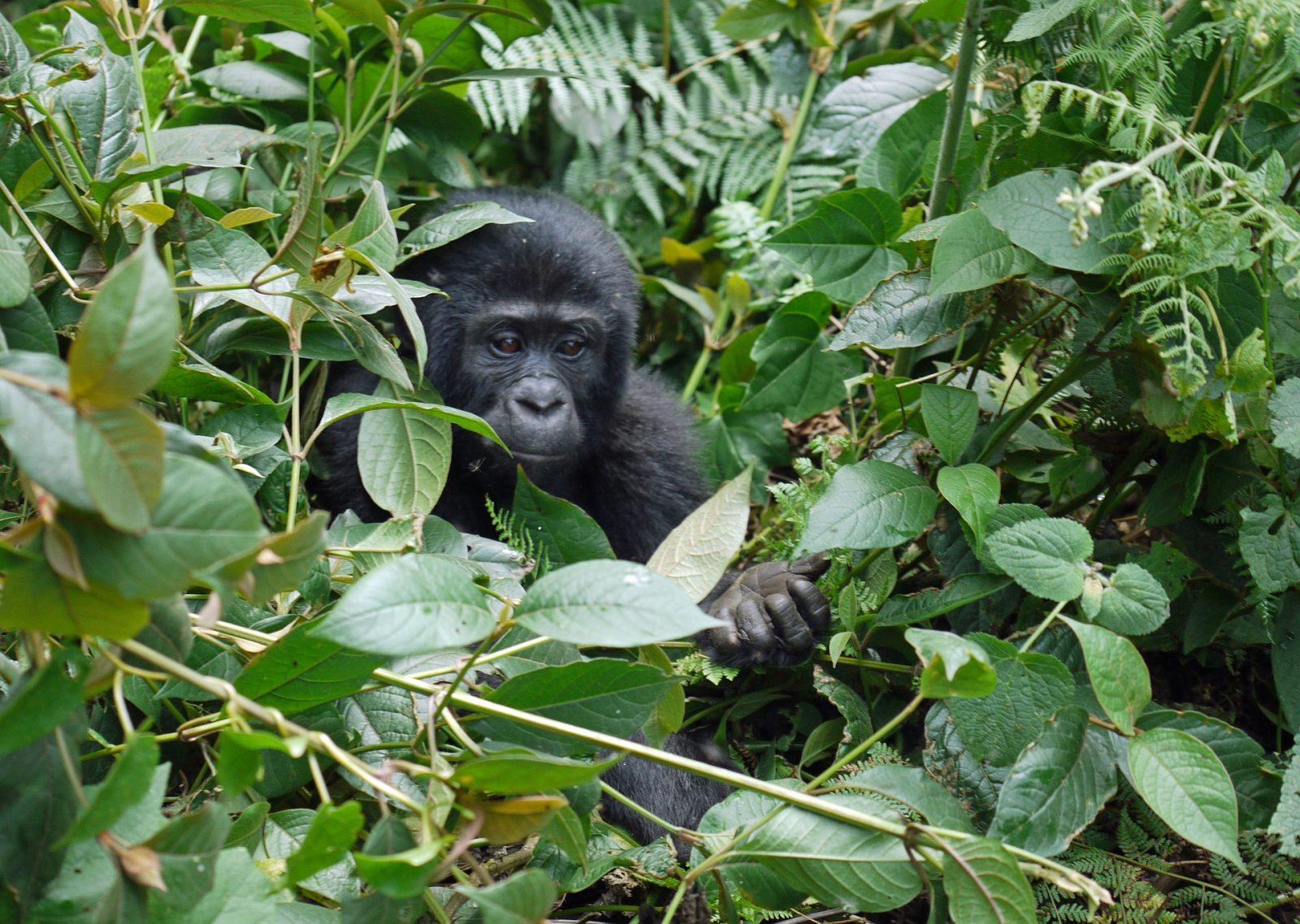 Conservation - Uganda Gorilla Adventure